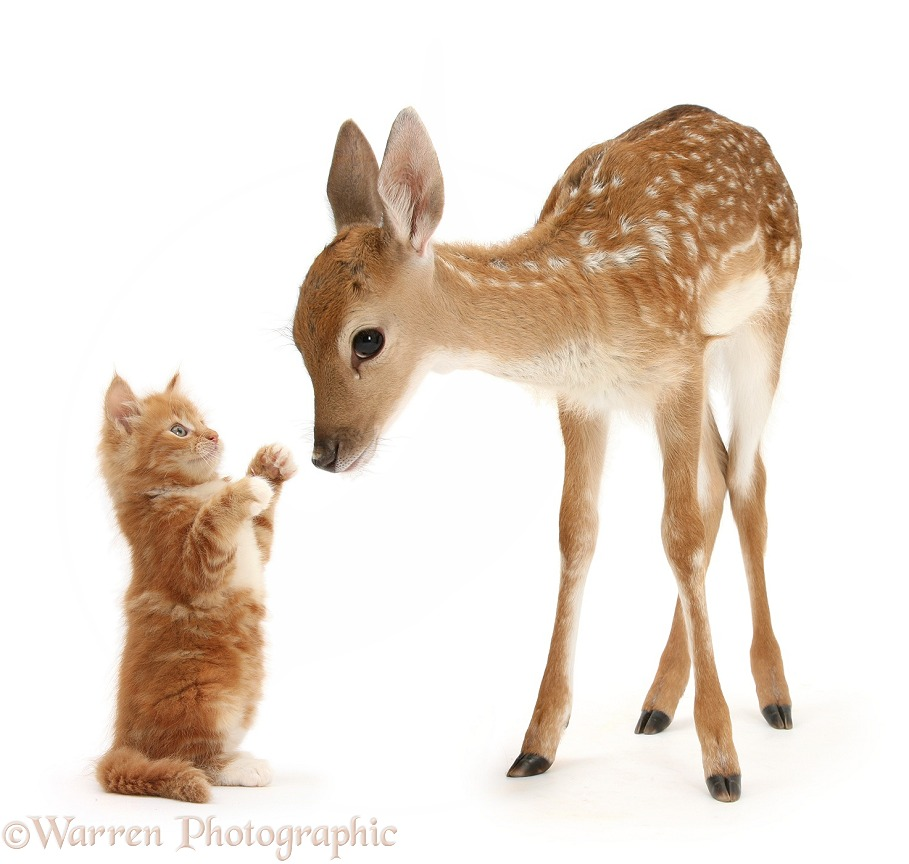 Fallow Deer (Dama dama) fawn and ginger kitten, Butch, white background