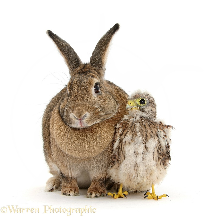 Baby Kestrel (Falco tinnunculus) chick and agouti rabbit, white background