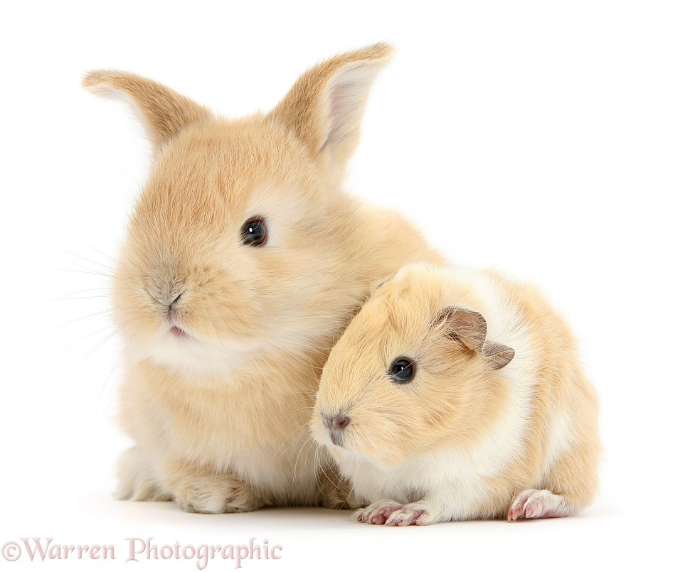 Sandy rabbit with cinnamon-and-white Guinea pig, white background