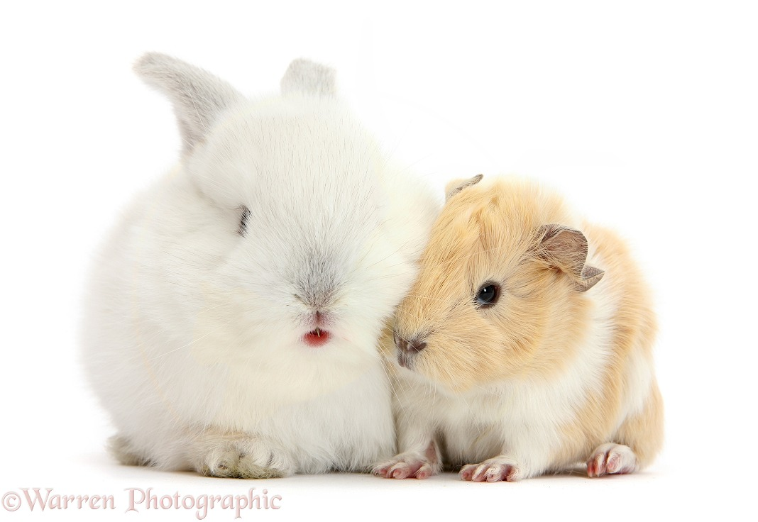 Baby White bunny with Guinea pig, white background