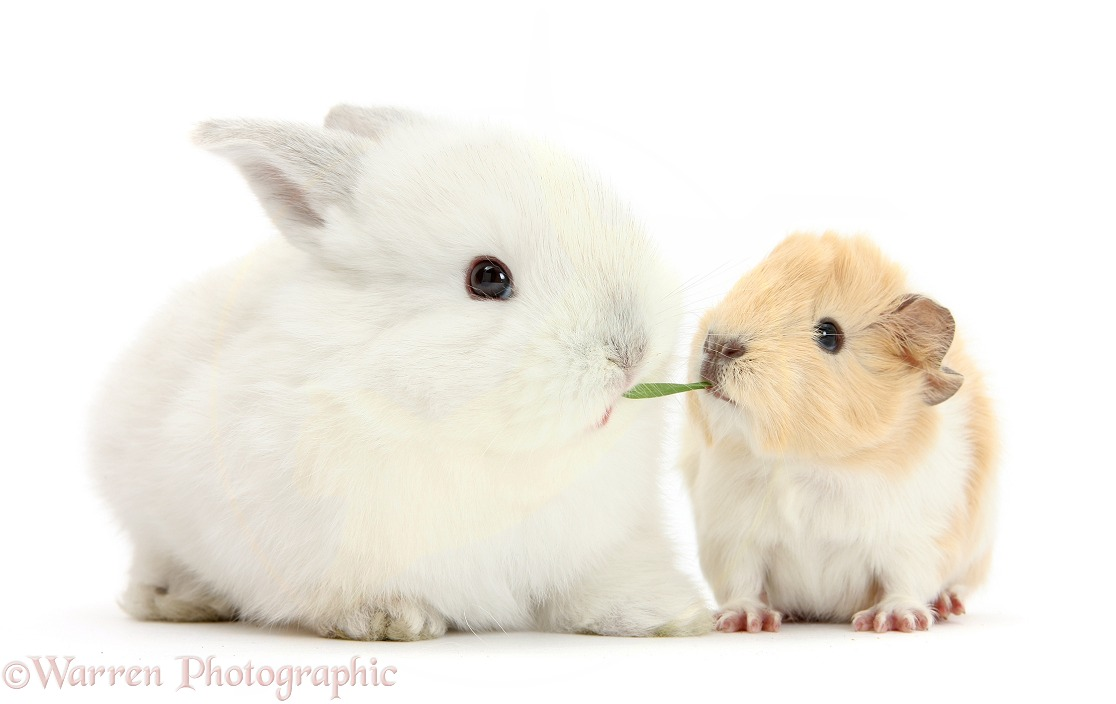 Baby White bunny eating grass with Guinea pig, white background