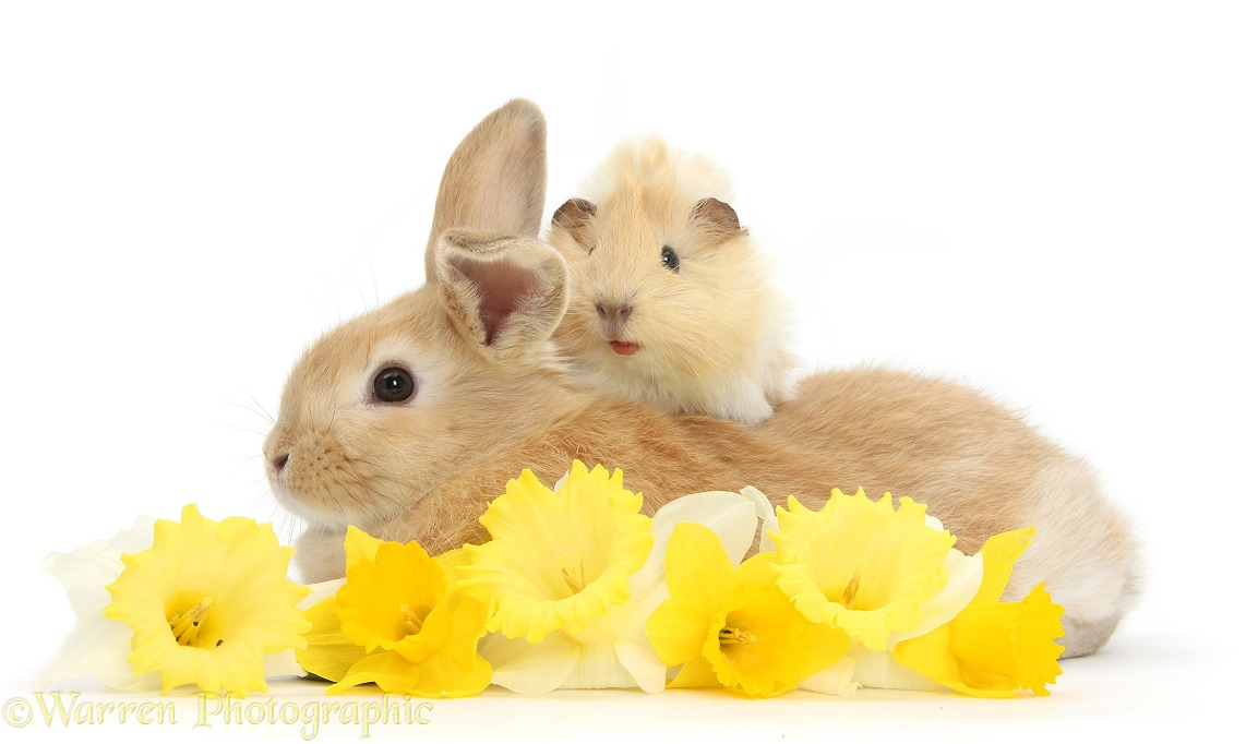 Young rabbit and Guinea pig with daffodils, white background