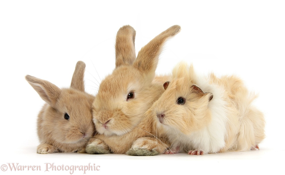 Sandy rabbit, baby bunny and Guinea pig, white background