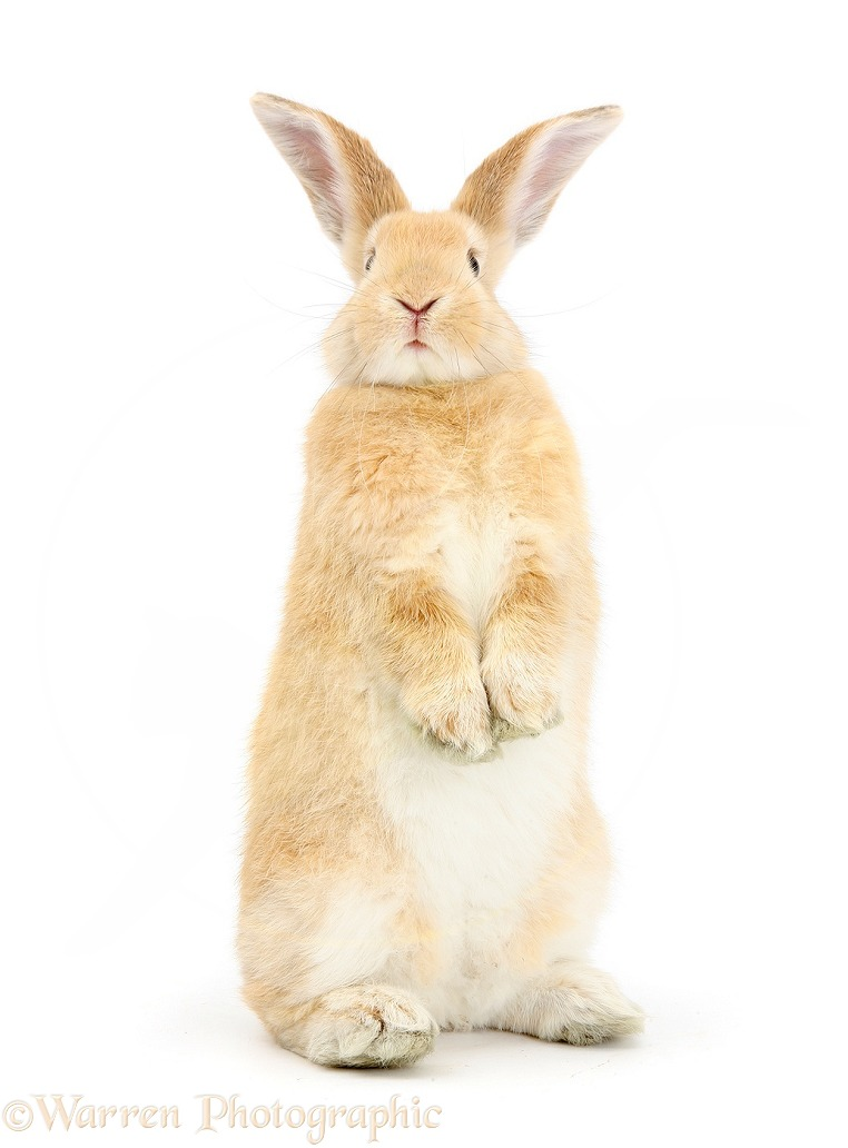 Sandy rabbit standing up, white background