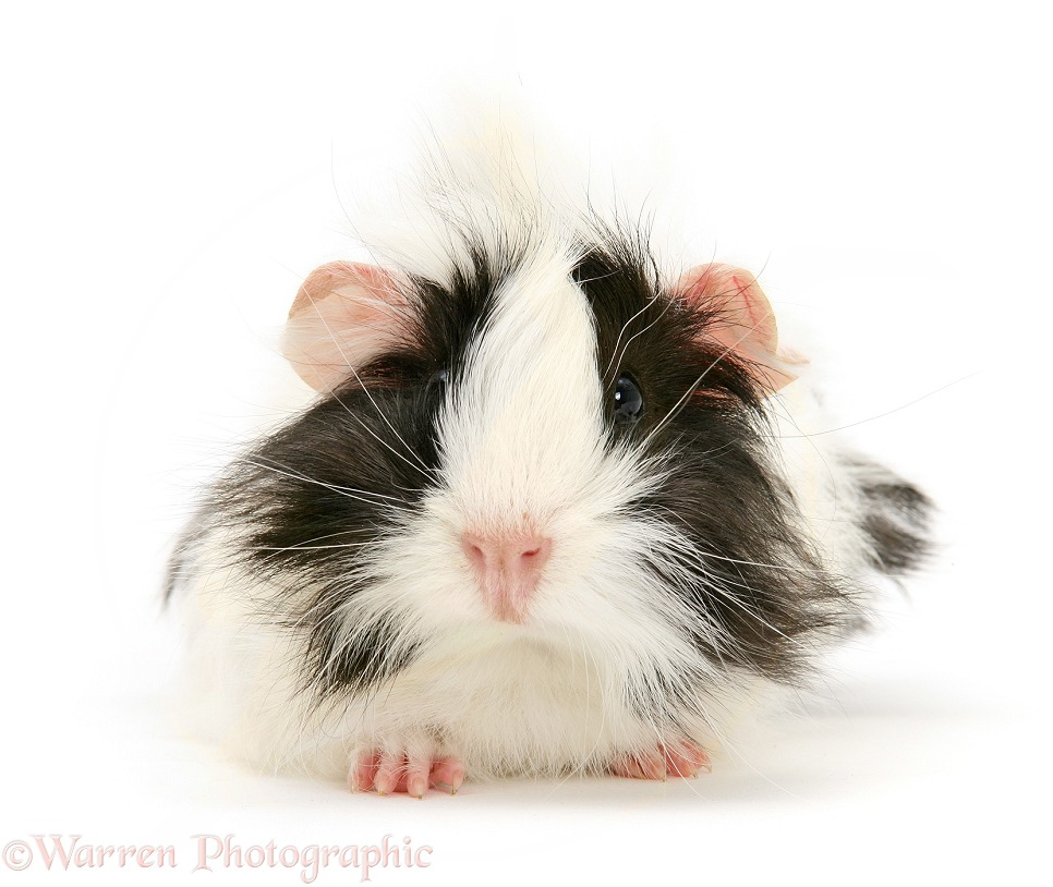 Black-and-white bad-hair-day Guinea pig, white background