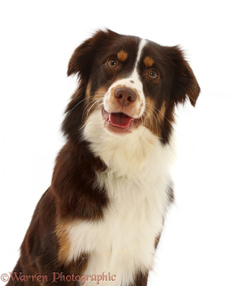 Red tricolour Mini American Shepherd, Polly, 15 months old, white background