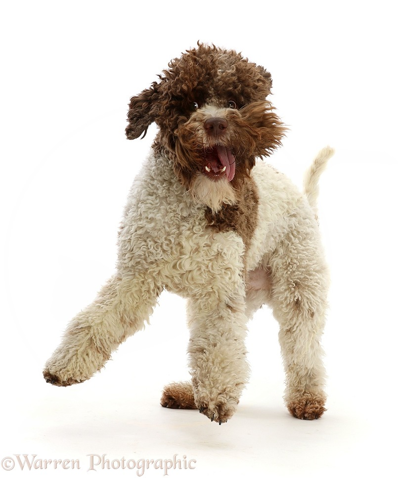 Lagotto Romagnolo jumping up, white background