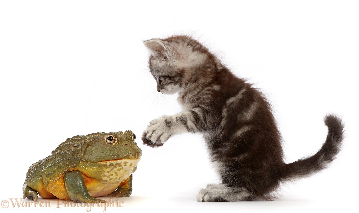 Silver tabby kitten, Blaze, 7 weeks old, with African Bullfrog (Pyxicephalus adspersus), white background
