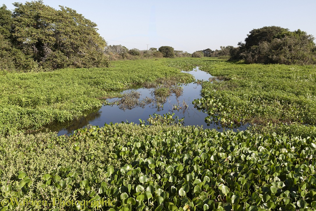Miranda River, choked with Water Hyacinth (Eichhornia crassipes) and other plants, Pantanal area of Brazil.  Mato Grosso do Sul, Brazil