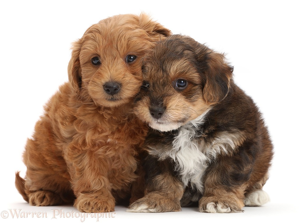 Two Cavapoo puppies nuzzling, white background