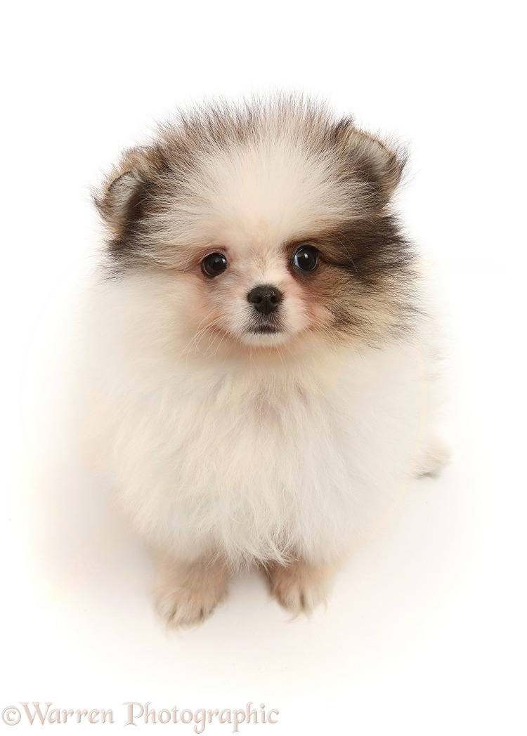 Pomeranian puppy, white background