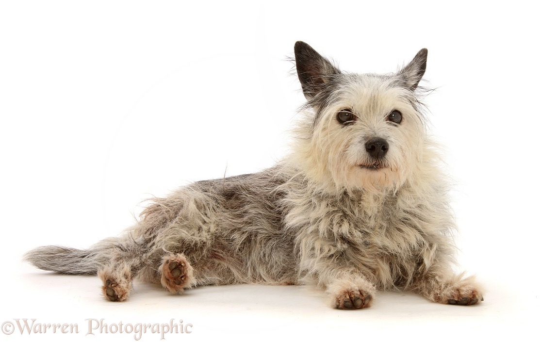 Elderly Westie x Jack Russell bitch, Ruby, 15 years old, white background
