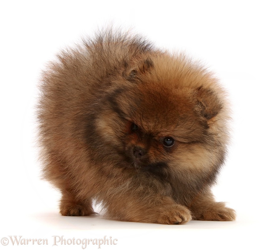 Pomeranian puppy in play bow, white background