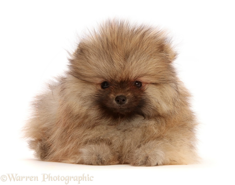 Two Pomeranian puppy, white background