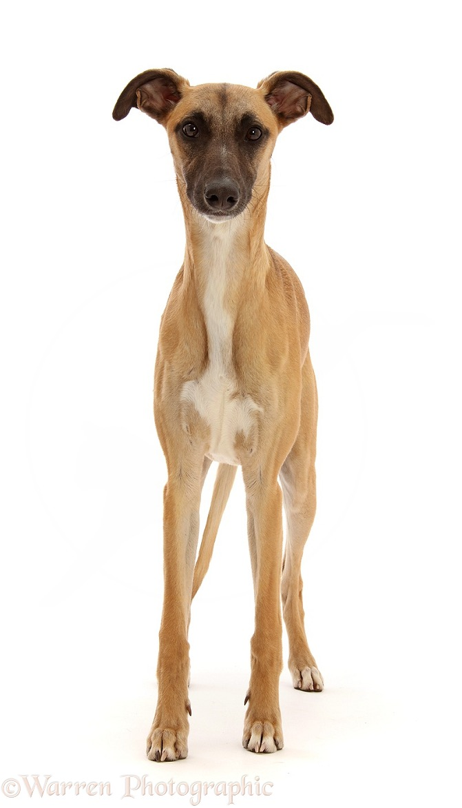 Whippet Lurcher dog, Raffy, 1 year old, standing, white background