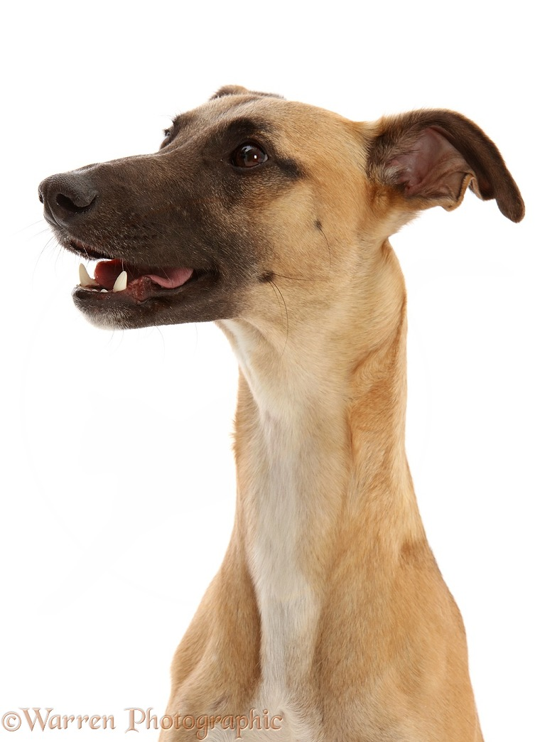 Whippet Lurcher dog, Raffy, 1 year old, white background