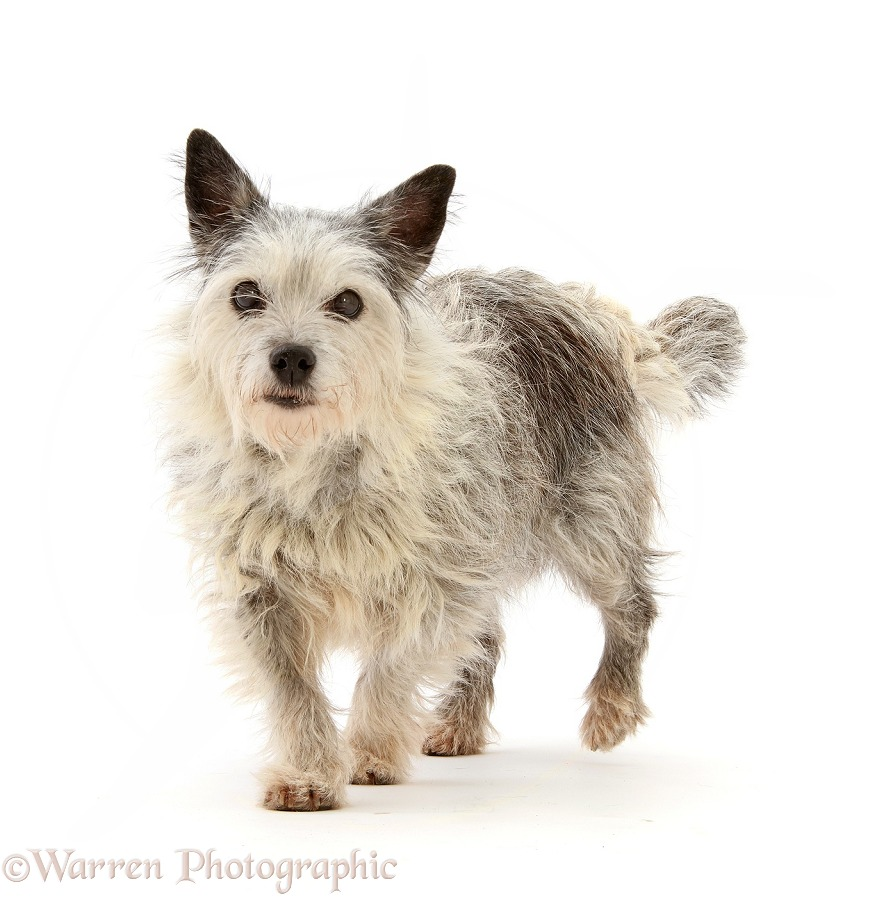 Elderly Westie x Jack Russell bitch, Ruby, 15 years old, walking, white background