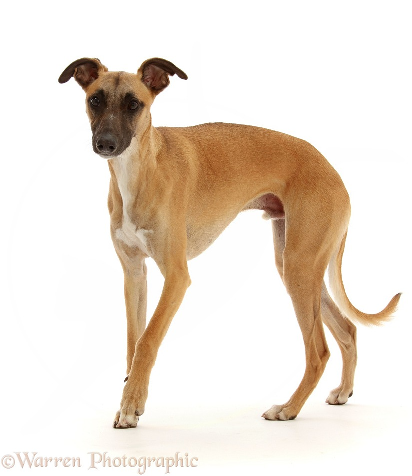 Whippet Lurcher dog, Raffy, 1 year old, walking, white background