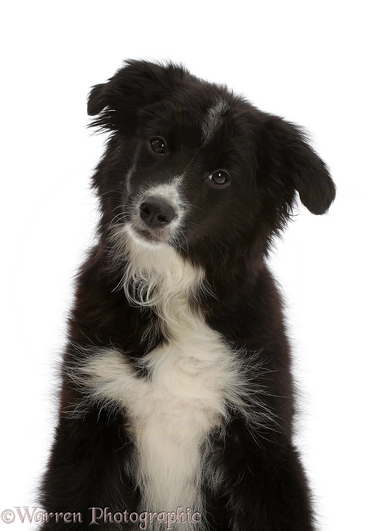 Mini American Shepherd pup, 4 months old, white background