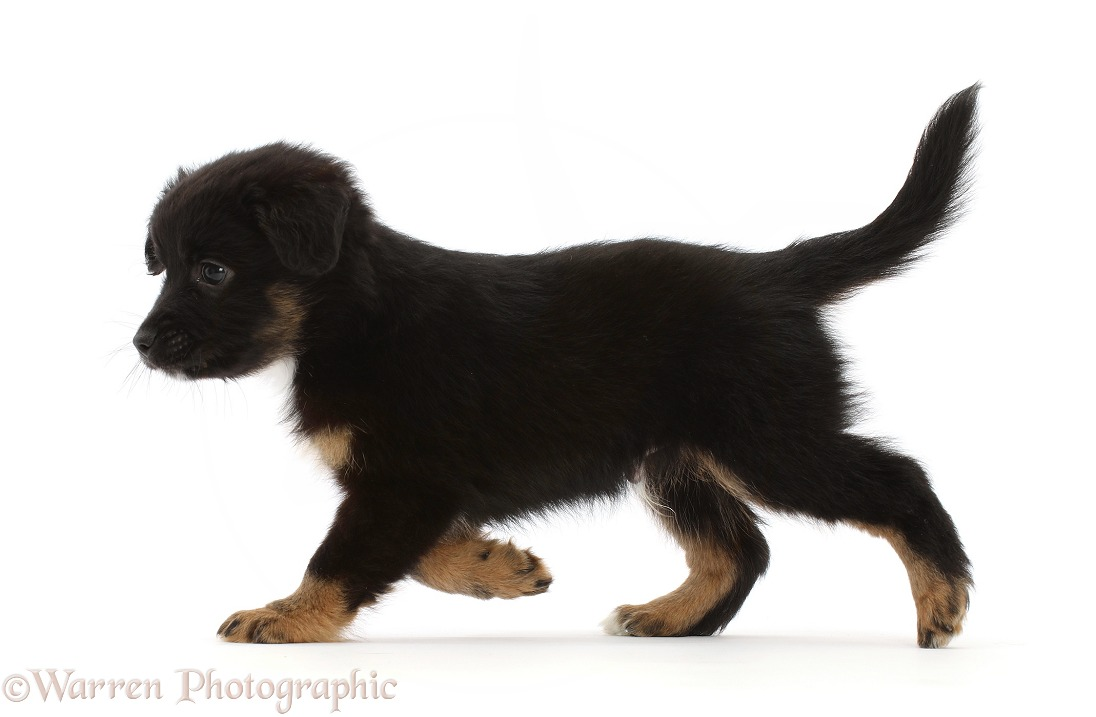 Mini American Shepherd puppy, 7 weeks old, walking across, white background