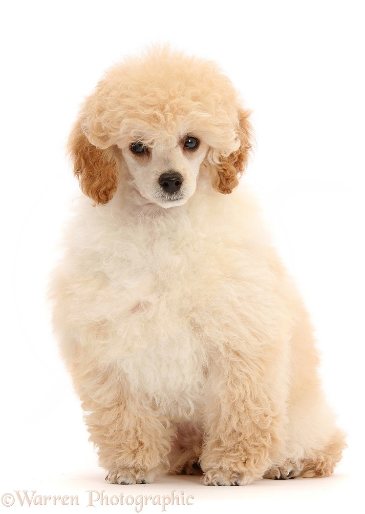 Toy Poodle puppy, 13 weeks old, sitting, white background