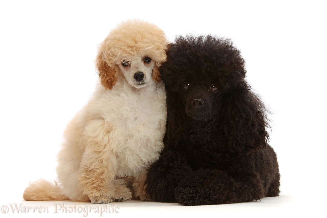 Cream Toy Poodle puppy, 13 weeks old, with black adult toy Poodle, 3 years old, white background