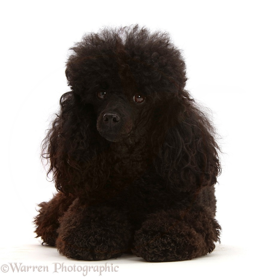 Black Toy Poodle, 3 years old, white background