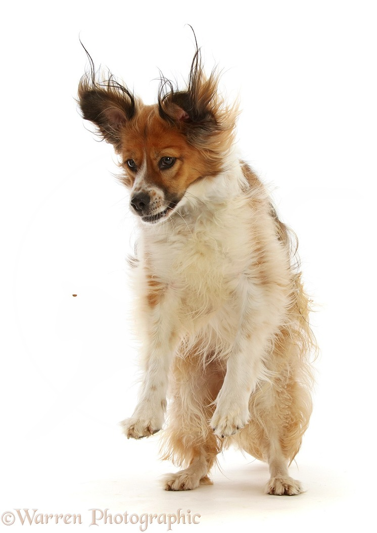 Sable mixed breed dog, Nic, 1 year old, jumping up to catch a treat, white background