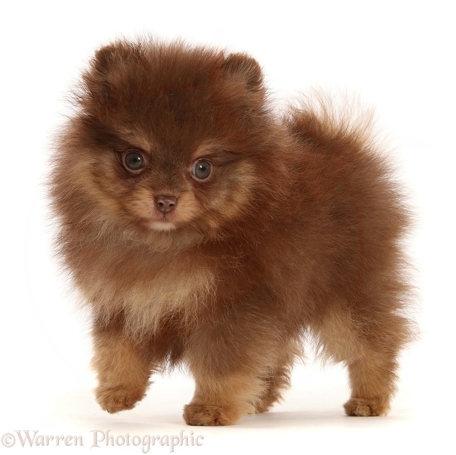 Chocolate-and-cream Pomeranian puppy, white background