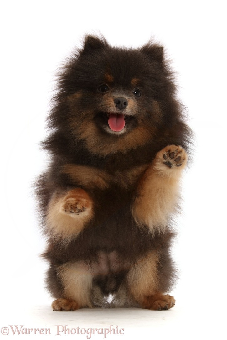 Black-and-tan Pomeranian playfully jumping up, white background