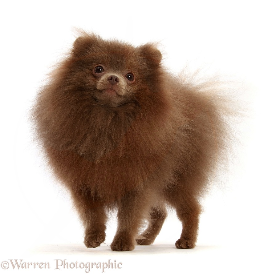 Brown Pomeranian standing, white background