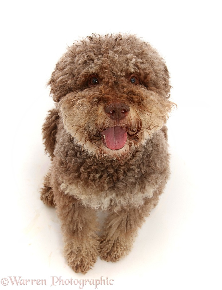Lagotto Romagnolo dog, 7 years old, sitting and looking up, white background