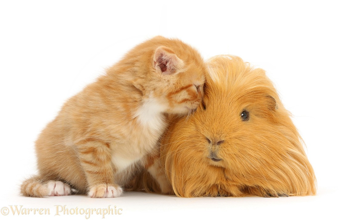 Ginger kitten, 5 weeks old, and Guinea pig, white background
