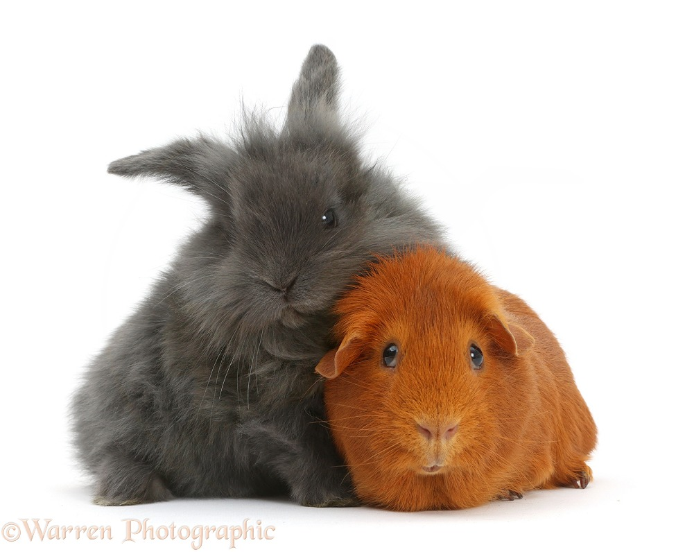 Grey Lionhead bunny and young Guinea pig, white background