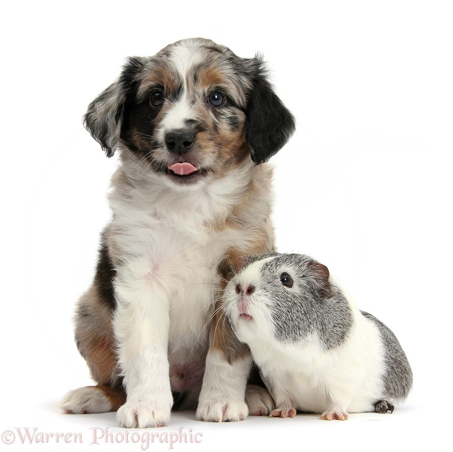 Merle Miniature American Shepherd puppy, 6 weeks old, with silver-and-white Guinea pig, white background
