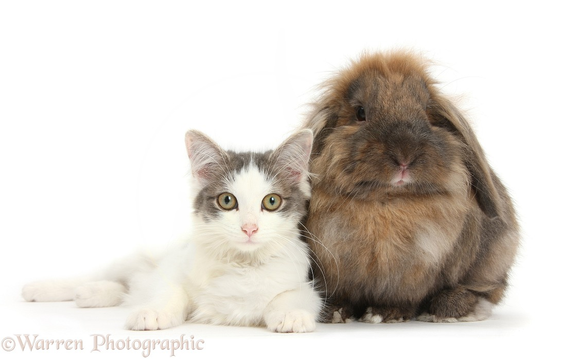 Silver-and-white female cat, Dottie, 5 months old, with Lionhead-cross rabbit, Dibdab, white background