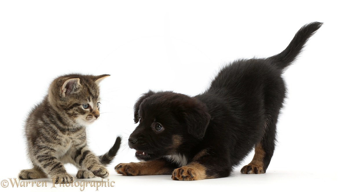 Small tabby kitten and playful Mini American Shepard puppy, both 6 weeks old, white background