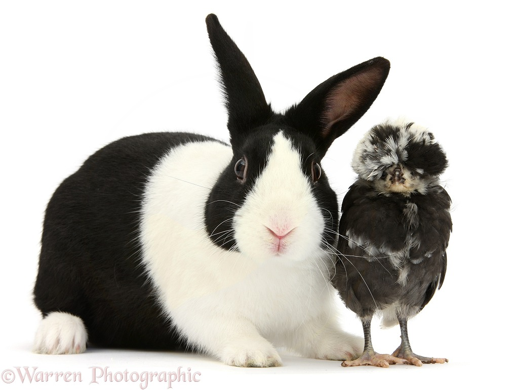 Polish chicken chick and black-and-white Dutch rabbit, white background