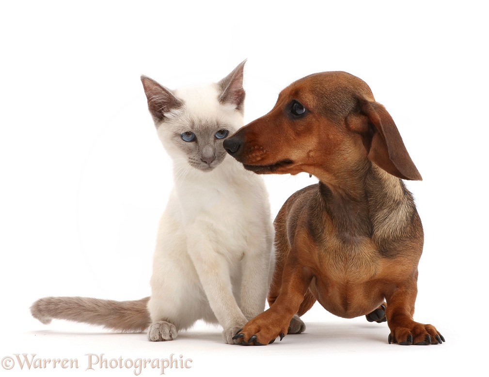 Blue-point Birman-cross kitten with Dachshund, white background