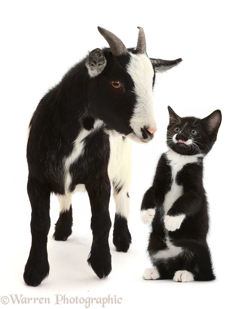 Pygmy goat and Black-and-white kitten, Tuxie, 9 weeks old, white background