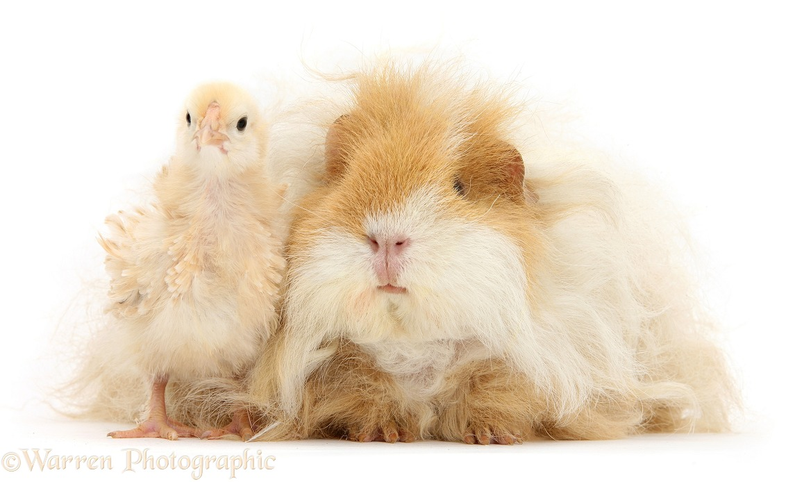 Bantam chicken and shaggy Guinea pig, white background