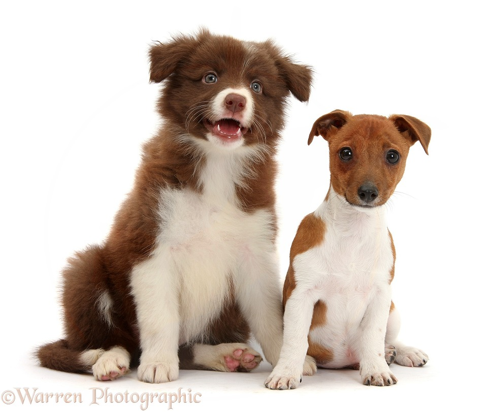 Jack Russell Terrier x Chihuahua pup, Nipper, sitting with Chocolate-and-white Border Collie puppy, white background