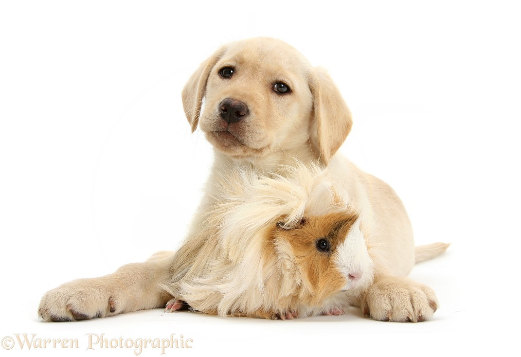 Yellow Labrador Retriever pup, 9 weeks old, and bad-hair-day Guinea pig, white background
