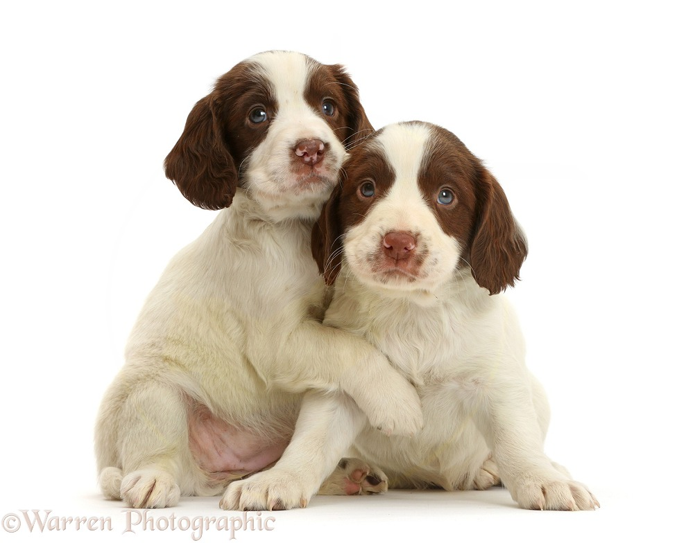 English Springer Spaniel puppy, 7 weeks old, hugging, white background