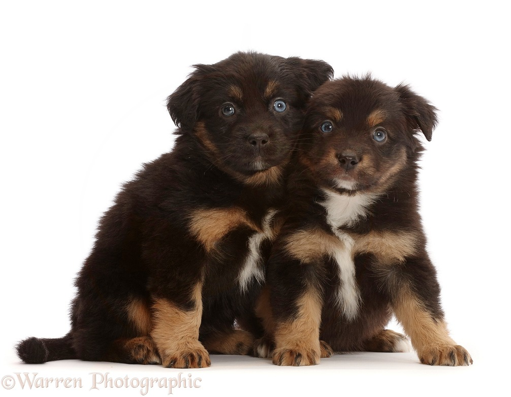Two Mini American Shepherd puppies, 5 weeks old, white background