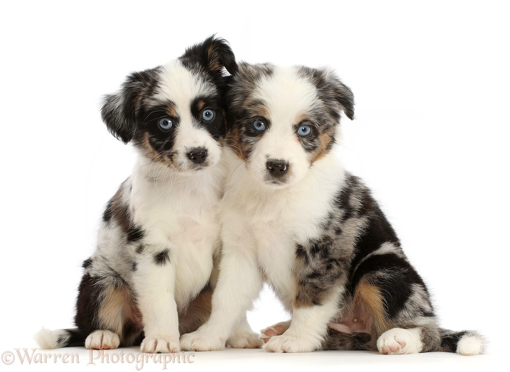 Two Mini American Shepherd puppies, 7 weeks old, white background
