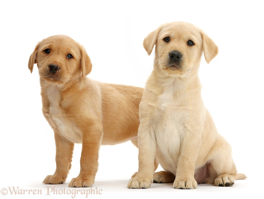 Cute Yellow Labrador Retriever puppies, 8 weeks old, white background