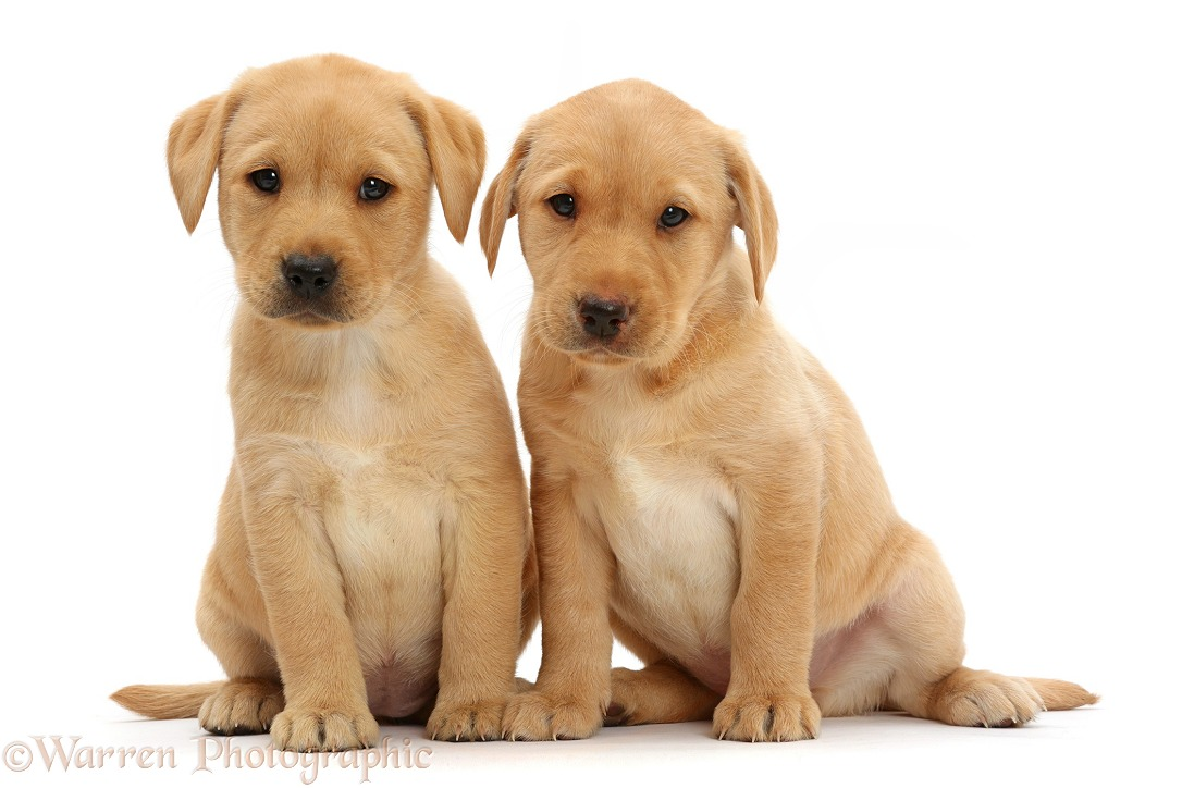 Cute Yellow Labrador Retriever puppies, 8 weeks old, sitting together, white background