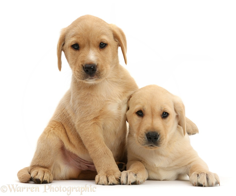 Cute Yellow Labrador Retriever puppies, 8 weeks old, lounging together, white background
