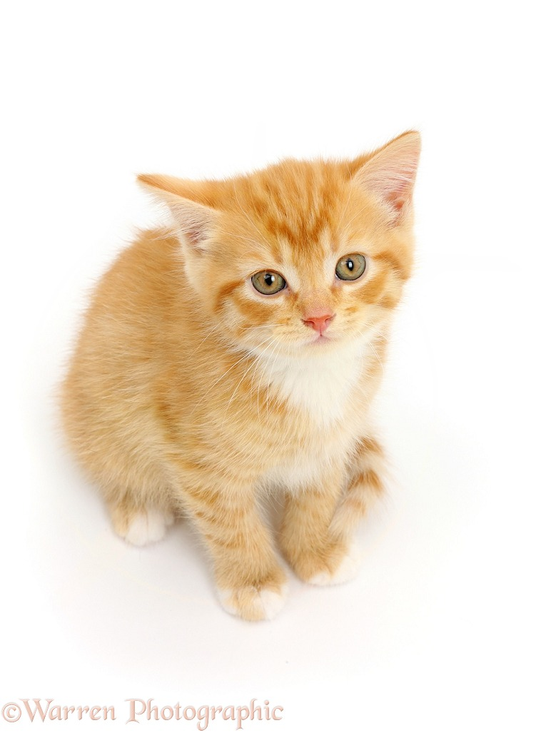 Ginger kitten sitting and looking up, white background